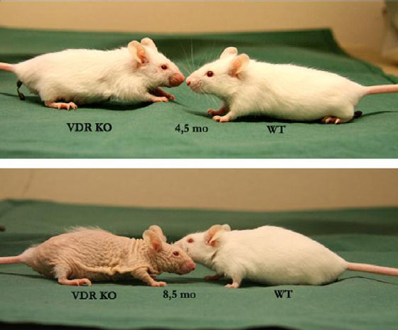 Mouse aging rapidly with Vitamin D receptor knocked out